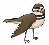 Killdeer Distraction