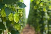 stock photo of vegetation  - hop cones and hop garden in the vegetation