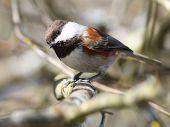 stock photo of chickadee  - A curious Chestnut - JPG