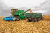field corn cleaning autumn harvester yellow stalks tractor KAMAZ grain bunker body