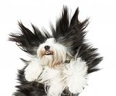 picture of hairy tongue  - Sheepdog on white background - JPG