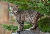 Young Bobcat (Lynx rufus) Stands Defiant