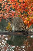 Raccoon (Procyon lotor) Looks Left On Log In Water
