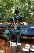 Teamwork at rubber plantation
