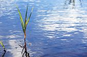 Sedge In Water