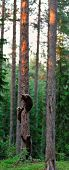 Brown Bear Cubs On Tree