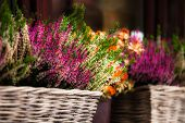 Pink And Purple Heather In Decorative Flower Pot