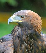 Golden Eagle Headshot