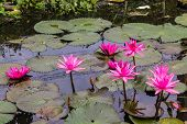 Pink Lotus In Lagoon
