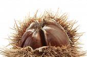 Thorny Chestnut Isolated on White Background