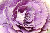 pic of water cabbage  - violet andpink decorative cabbage with water drops