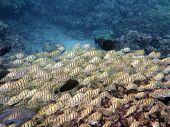 Various Fish Sneaking Along With A School Of Yellow Tang Fish