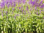 stock photo of salvia  - Meadow with blooming Blue Salvia herbal flowers - JPG