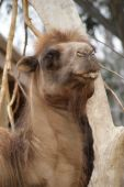 Spitting Camel At The Zoo