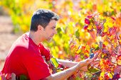 Mediterranean vineyard farmer checking grape leaves in Spain
