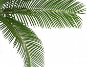 Green leaf of palm tree , border frame , on white background