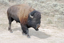 picture of wallow  - Large male buffalo at dust wallow in Yellowstone National Park in Wyoming - JPG