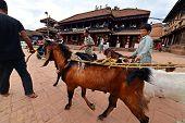 Animal Market In Kathmandu, Nepal
