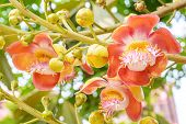 picture of cannonball-flower  - Cannonball flower from the tree  - JPG