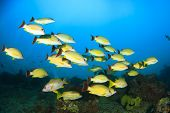 School yellow Snapper fish