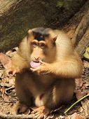 Macaque Monkey eating fruit