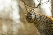 Amur Leopard Cub Bite Tree Branch