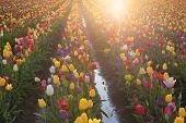 Multi Colors Tulips Glowing In The Sun