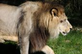 Lion im zoo
