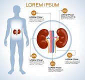 Kidneys. Modern medical infographics. Internal organs in a human body. Anatomy of people
