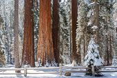 picture of sequoia-trees  - Giants Sequoia Grove in the Mariposa area of Yosemite - JPG