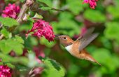 image of hummingbirds  - Rufous Hummingbird in flight - JPG