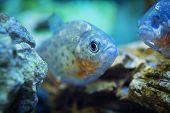 Piranha (Serrasalmus rhombeus) fish