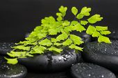 Spa Concept With Green Branch Of Maidenhair And Zen Stones With Drops