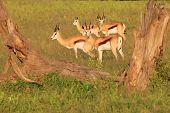 Springbok - Wildlife Background from Africa - Graceful Antelope and Elegant Animals