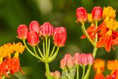 Tropical Milkweed Flower