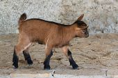 Miniature Goat