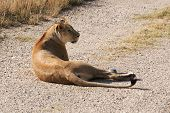 picture of lioness  - Lioness in safari park taigan belogorsk crimea - JPG