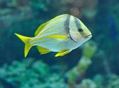image of saltwater fish  - Porkfish fish from grants in saltwater aquarium - JPG