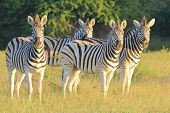 Zebra Background - Wildlife from Africa - Stripes of Intense Stare