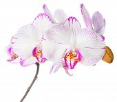 Blooming Lilac Striped Orchid, Phalaenopsis Is Isolated On White Background
