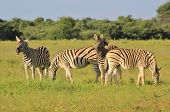 Zebra - Wildlife Background from Africa - Poses from Nature
