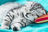 image of scottish-fold  - Scottish Fold kitten sleeping on a small pillow - JPG