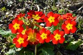 Polyanthus Pacific Giants