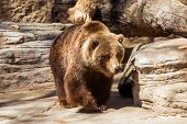 stock photo of zoo  - Walking Grizzly Bear - JPG