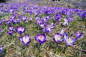 Spring Crocuses Meadow