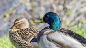 Couple of mallard ducks near the Seine river, France