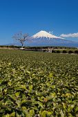 green tea plantation and mountain fuji at shizuoka prefecture