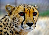 picture of cheetah  - Close - JPG