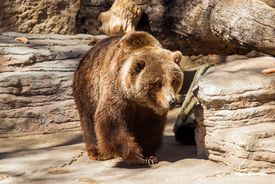 stock photo of grizzly bear  - Walking Grizzly Bear - JPG