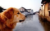 Golden Retriever in Suzhou, China.